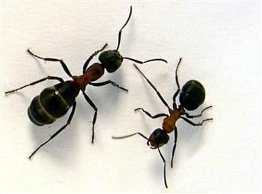 آیا مورچه ای که با حضرت سلیمان سخن گفته از نوع همین مورچگان بوده است؟